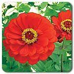 Organic Red Scarlet Zinnia