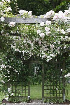 white gardens, white flowers, jardin, white trellis, white roses, garden gates, climbing roses, rose arbors, flowers garden