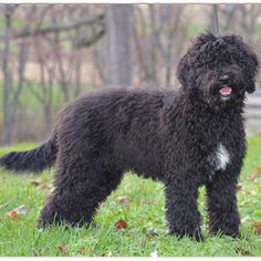 """Barbet - What's that adorable, shaggy-haired walking down the street? No, it's not a designer Poodle mix—it's a Barbet, a French sporting dog with a long history. Truly """"the original"""" water retriever, the Barbet has been around since the 14th century."""