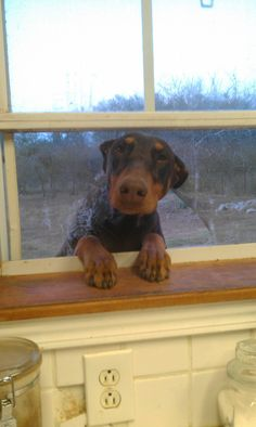 Doberman had enough outside.  Ready to come inside now.