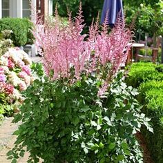 Astilbe Mighty Pip  Astilbe   On sale $12.98 for a bag of 3