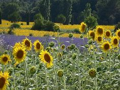Lavender and Sunflowers in Provence. I need to get this one blown up and put on the wall. Who knew Steve was such a good photographer?