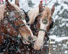 Belgian draft horses in the snow.