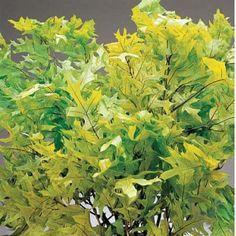 Oak Leaves Preserved Spring Green