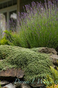 Lavender & Thyme