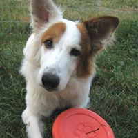 Super cute border collie mix. 10 month old male. Manitoba, Canada. Adopted.