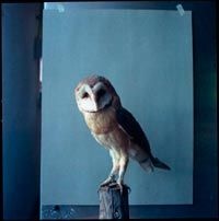 #owl blue, barn owls