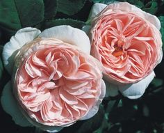 Heritage™® - David Austin English Rose