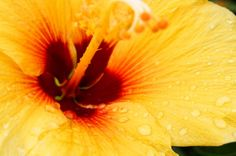 Brighten Your Day with this Yellow Hibiscus from Hawaii | Hawaii Pictures of the Day