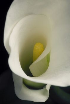 calla lily #spiral #white #yellow #flora #flower  #smoothestdayever