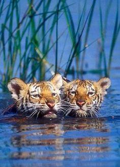 Tiger Cubs swimming!