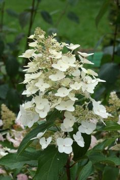 Hydrangea paniculata // PG Hydrangea