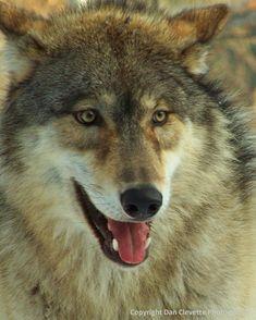"Wolf Photography, Wildlife Photography, ""Gray Wolf Portrait"". $15.00, via Etsy."