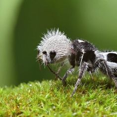 Not quite cuddly - Panda Ant