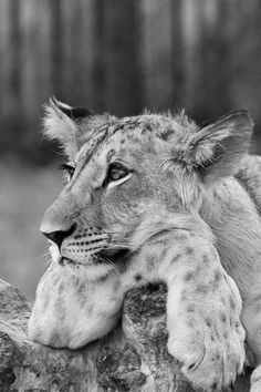 Lion cub resting by © Peter Krejzl. Original in colour. °