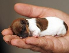 Miracle, the 1.5 oz. Jack Russell-Chihuahua Mix via http://abcnews.go.com/Technology/AmazingAnimals/slideshow/miracle-tiny-jack-russell-chihuahua-cross-3351912 palm, hand, funny animals, jack russells, dogs, little puppies, happy puppy, chihuahua, baby puppies
