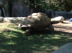 Turtles really shouldn't be this large.