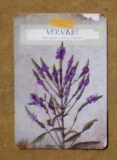 Vervain is a very powerful, protective herb, that is said to be able to take away a witch's power.  It is an excellent choice for divination and warding spells and used to protect against demons.  Also known as Wild Valerian, it is thought to confer immortality & has a calming effect on humans & dogs. It's attractive to cats and rats & said the Pied Piper carried it in his pocket when he lured the rats away.  Vervain around the house will help abundant revenues. #Fairy #Magic #Tarot