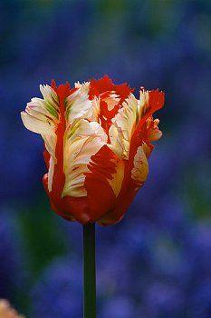 A colorful tulip grows in Keukenhof park (Holland).
