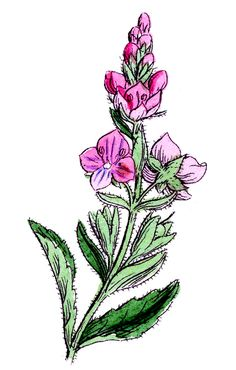 *The Graphics Fairy LLC*: Vintage Botanical Graphics - Pretty Wildflowers