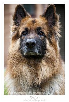 Oscar - German Shepherd