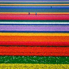 Tulip fields just outside of Alkmaar, North Holland