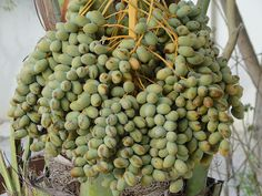 Dates growing on a tree in my garden,     How to find cougars who know what they want and can teach you a thing or two are looking for you   here. Learn more on cougarsplace.com