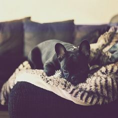 I want a frenchie so bad!