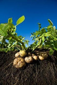plant potato