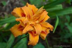 Hemerocallis fulva 'Flore Pleno' is a familiar roadside plant here in north east Pennsylvania. Image ©GardenPhotos.com  [I did not know that there are two, similar daylilies. This is the one you want (Hemerocallis fulva 'Flore Pleno, not H. fulva 'Kwanso').]