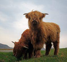 Highland Cows..