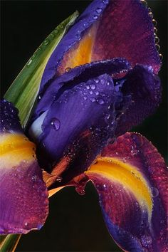 Dark purple and orange Iris