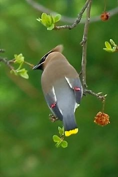 Cedar Waxwing feasting on crab apples