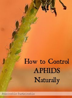 Natural Aphid Control | by Attainable Sustainable