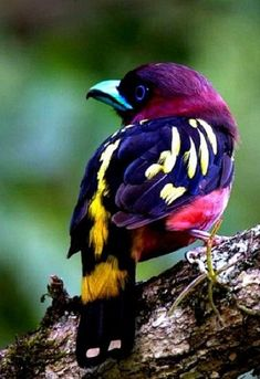 Banded Broadbill in