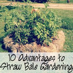 10 Advantages to Straw-Bale Gardening. The easiest way to garden! You don't even need soil or much space!