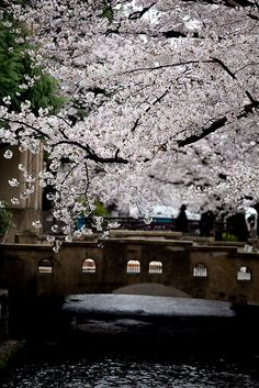 Spring in Kyoto,  Cherry blossoms of Takase river