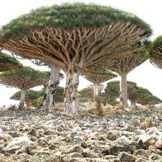 Dragon's blood tree (Socotra Island, Yemen)