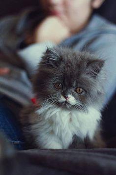 Sweet Gray and White Kitten