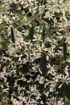 Breathless™ Euphorbia - Monrovia
