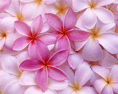 Innocent Hawaiian jasmines flowers