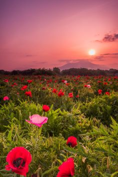 expressions-of-nature:  Poppy Field by: Shumon Saito