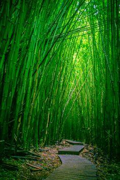 Bamboo Forest, Haleakala National Park, Maui, Hawaii |
