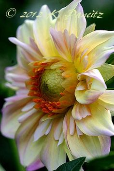 Dahlia Apple Blossom ~ beautiful