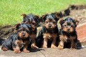 Yorkshire Terrier Puppies www.keysonepuppies.com  #keystonepuppies  #yorkshireterriers