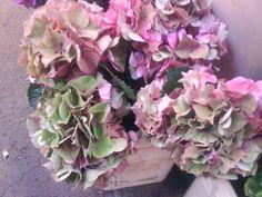 green/pink antique hydrengea