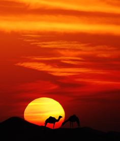 ✯ Camels at Sunset ✯