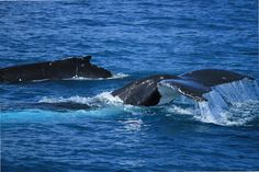 SPLASHTACULAR. Rebecca Goodman captures Humpback holidaymakers having fun in the waters off Fraser Island.  #HATH #fraserisland #queensland #australia #humpbackwhales #whalewatching http://www.whalewatch.com.au/ www.queensland.com/whales