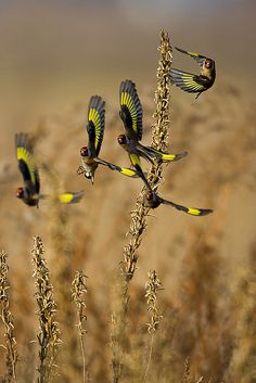 Flock of Goldfinch - seedeaters.