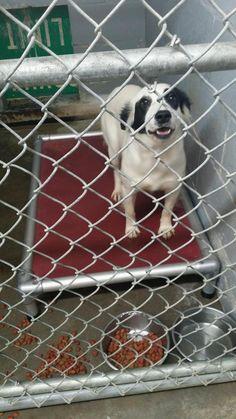 Cara~ Spaniel Mix • Young • Female • Medium Sandersville/Washington Animal Services Sandersville, GA